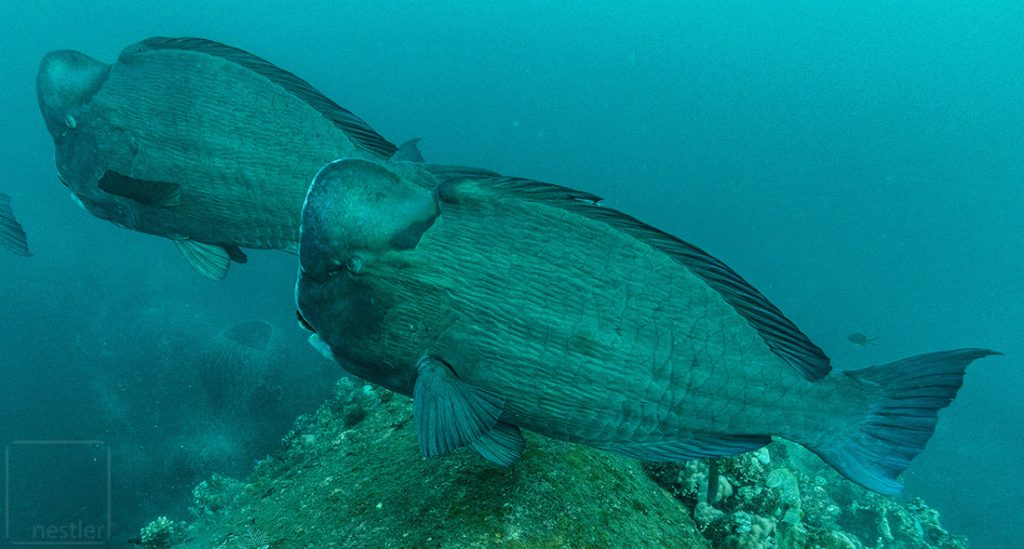 Bali Humphead Parrotfish at USS Liberty
